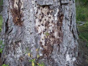 Die kräftige borkige Rinde alter Douglasien bietet Käfern und anderen Insekten Unterschlupf