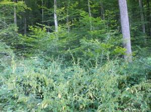 Natürliche Selbstaussaat junger Buchen in unmittelbarer Nachbarschaft alter Douglasien